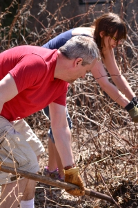 Digging up raspberries.