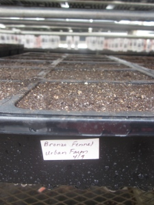 Strawflower starts for the Tiny Diner and Honey House Farm - too early to see any sprouting.