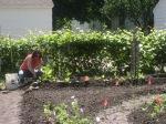 Volunteer Liliane prepares the bed and plants collards, nasturtiums, and a few tomatoes.